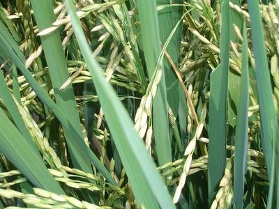 Reispflanze_by_tokamuwi_pixelio.de